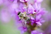 Bee on purple loosestrife flowers