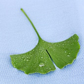 A ginkgo leaf with drops of water