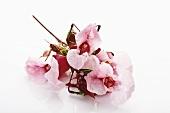 Himalayan balsam (flowers)