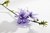 Wegwarte mit Blüten