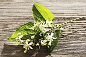 Clematis (Greisenbart), Zweig mit Blüten auf Holzuntergrund (Homöopathie, Bachblüten)
