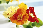 Mixed nasturtium flowers