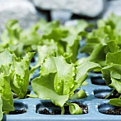 Young lettuce plants (iceberg lettuce)