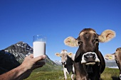 Cows in pasture and glass of milk