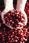 Hands full of cranberries