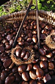 Basket of fresh sweet chestnuts (Ardèche, France)