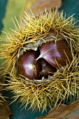 Chestnuts in their prickly case
