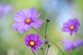 Purple cosmos flowers (close-up)