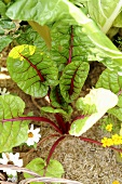 Beetroot plant in vegetable bed