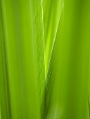 Reed leaves (close-up)