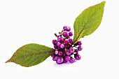 Beautyberry (Callicarpa) with leaves