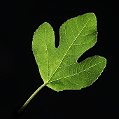 Fig leaf on black background