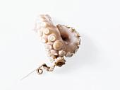 Octopus arm