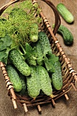 Fresh pickling cucumbers with dill in basket