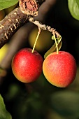 Cherry plums on the branch