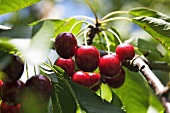 Cherries on the branch