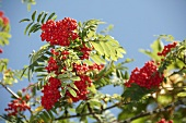 Rowan berries on the branch