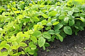 Soya bean plants in vegetable bed