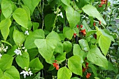 Runner bean plants in garden