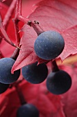 Berries of Virginia creeper