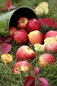Upset bucket of fresh apples