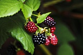 Blackberries on the bush (ripe and unripe)