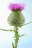 Thistle flower (Silybum marianum)