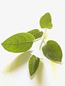 Sage from Peru