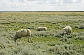 Salt marsh lambs grazing (North Germany)