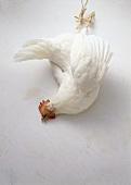 Unplucked chicken