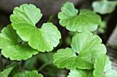 Ground ivy (close-up)