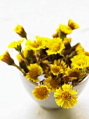 Coltsfoot flowers in a bowl