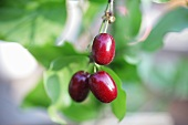 Cornel cherries on branch (close-up)