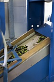 Olives in olive mill