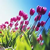 Rosa Tulpen ragen in den Himmel