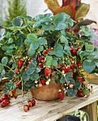 Garden strawberry 'Fragaria x ananassa' in pot