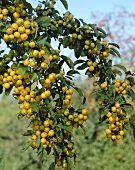 Crab apples, variety 'Golden Hornet', on the tree