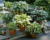 Various different hostas in pots
