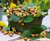 Hazelnuts with leaves in a metal container