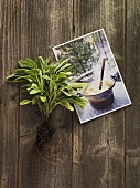 Fresh sage & postcard with picture of polenta on wooden background