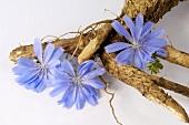 Wegwartewurzel (Cichorium intybus) mit Blüten