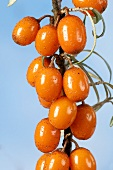 Sea buckthorn berries on the branch