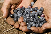 Hands holding freshly picked blueberries