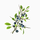 Sloes and blossom on branch