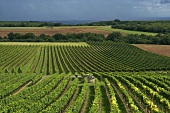 Vines in Burgundy
