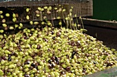 Freshly harvested olives in the mill (extracting oil)