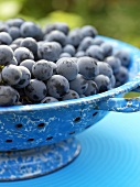 Black grapes (Concord grapes) in blue colander
