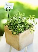 Pepperwort cress in a pot