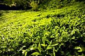 Tea plantation (Sans Soucis, Mahé, Seychelles)