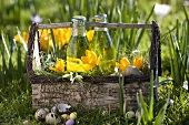 Woodruff lemonade, crocuses & snowdrops in wooden carrier